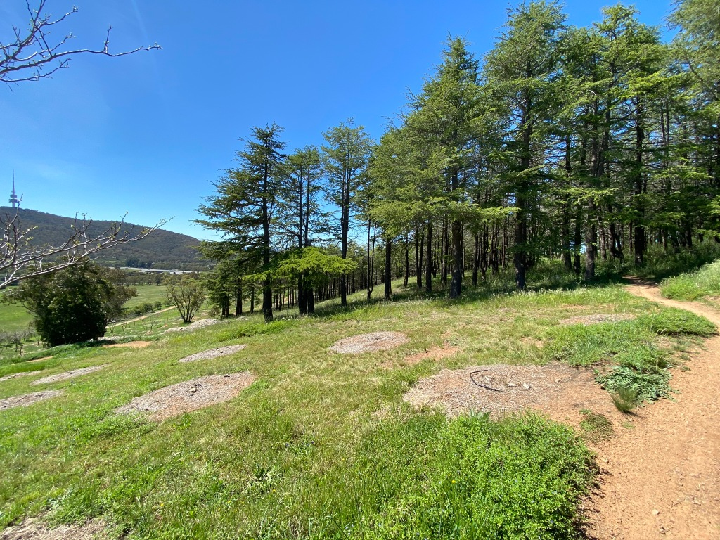 Into the Himalayan Cedars
